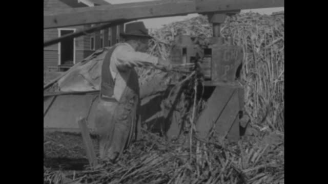 los angeles cal raise your own sugar and molasses soaring prices have revived oldfashioned methods of making sugar from sorghum / horses attached to... - sorghum stock videos & royalty-free footage