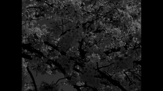 'News Flashes' / CU cherry trees / MS blossoming cherry trees and the Washington Monument / MS cherry trees and the Jefferson Memorial at night / LS...