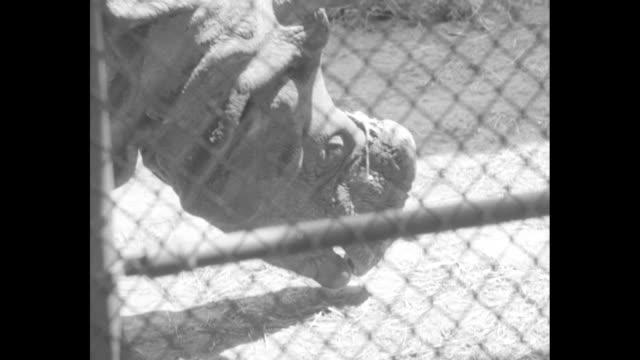 """vídeos y material grabado en eventos de stock de """"philadelphia gets prize specimens of """"bring 'em back alive' - c. emerson brown, director of zoo, tells abut animals presented by frank buck"""" / brown... - eslabón"""