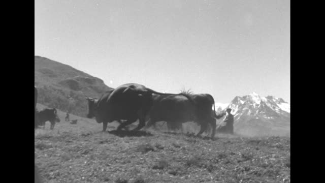 swiss use pipeline to deliver milk superimposed over cattle on mountainside / men women and cows on swiss alps mountain slope snow capped mountains... - alpi video stock e b–roll