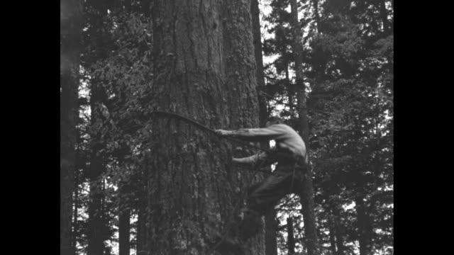 """""""tree-toppers busy! demand for lumber puts hundreds to work near shelton, wash."""" / vs lumberjack climbs tree / lumberjack chops the top off pine tree... - lumberjack stock videos & royalty-free footage"""