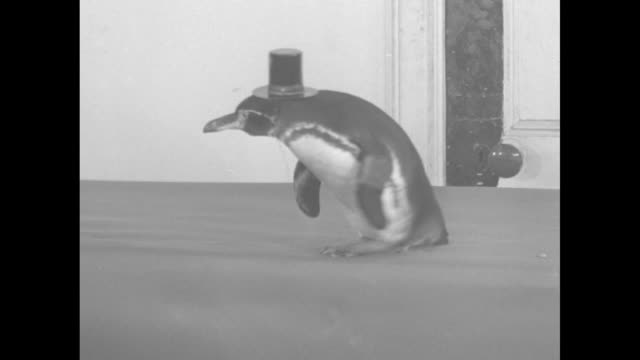 """mike and ike, galapagos pals, become new york celebrities"""" / penguin in top hat / mls mike and ike the penguins hop from table top to floor, waddle... - top hat stock videos & royalty-free footage"""