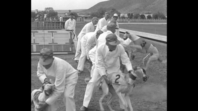whippets fast also foolish agua caliente mex stuffed rabbit puts speedy dogs on edge for big race / ms trainers in white walk line of whippet dogs... - dog biscuit stock videos & royalty-free footage