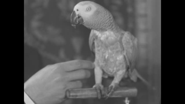 """""""wise bird"""" / parrot sits on gossip columnist and author elsa maxwell's hand as she stands next to bird perch, sot she introduces bird as mr. john... - appollaiarsi video stock e b–roll"""