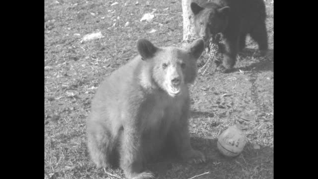 stockvideo's en b-roll-footage met world's cutest cubs just cutups live teddy bears at fox farm in wayne nj not bad actors / vs chained bear cubs drink from bottles cry and display... - schommelen schommelstoel