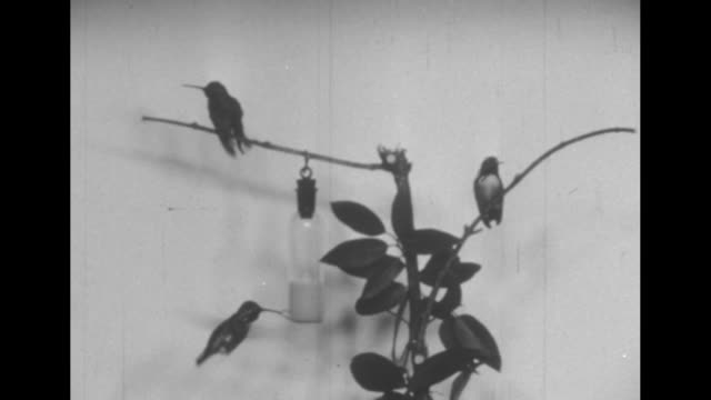 """vidéos et rushes de """"one second in the life of a hummingbird"""", """"as seen by the high speed motion picture camera at the n. y. zoological park"""", """"by henry m. lester"""" /... - aile d'animal"""