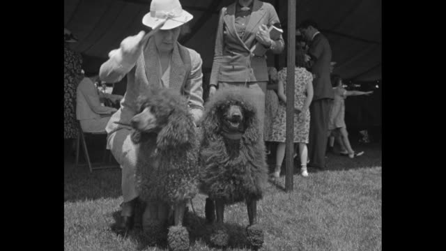 madison nj superimposed over gv of crowds at morris and essex kennel club show fairgrounds / woman brushes two poodles / gv fairgrounds / same woman... - contestant stock videos & royalty-free footage