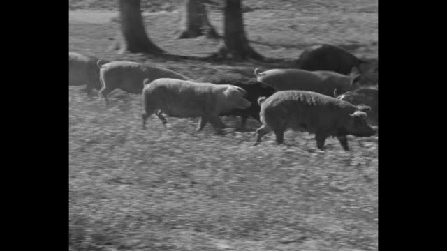 washington dc superimposed over hogs coming out of structure / hogs run across field / title rep wearin superimposed over otha wearin standing on... - maiale ungulato video stock e b–roll