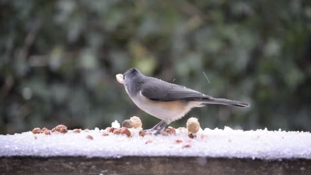 Titmouse and ice pellets