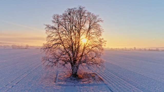ms to ws aerial view sun shining behind tranquil,idyllic single tree in snow covered rural field at sunrise,prekmurje,slovenia - agriculture stock videos & royalty-free footage