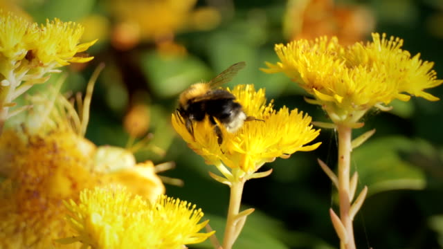 to bee - bumblebee stock videos & royalty-free footage