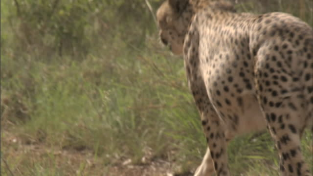 to cheetah walking away from frame, walking out of sight behind shrubs & bushes. wildlife, conservation, safari, mokolodi nature reserve - wildlife conservation stock videos & royalty-free footage