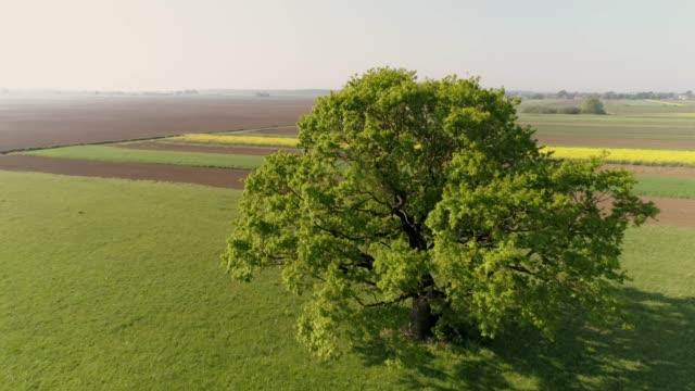ms to ws green tree in sunny,rural field,prekmurje,slovenia - single tree stock videos & royalty-free footage