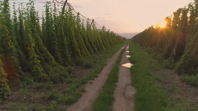 MS to WS Lush green hops growing in rural sunny countryside,Slovenia