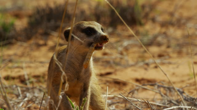 cu zo to ms meerkat with large insect larva in its mouth turns and runs off - one animal stock videos & royalty-free footage
