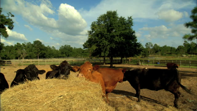 pan to ms various black light brown domesticated cows chewing on hay some grazing on farm fields bg cow bull livestock farmland - hay stack stock videos & royalty-free footage