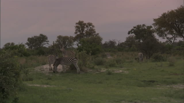 zi to ws plains zebras grazing on grass field of okavango delta two zebras in front necking wildlife endangered stripes mating season social bonding - south africa stock videos & royalty-free footage