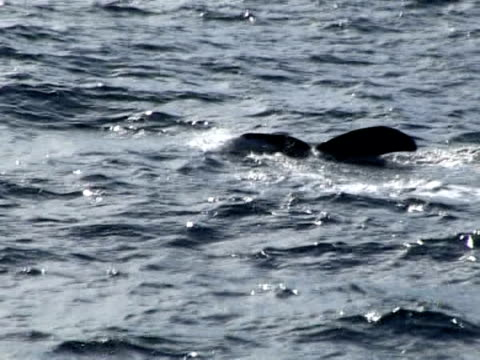 stockvideo's en b-roll-footage met to protect the whales that travel through the arctic circle, animal rights groups believe that they need to be better known. andenes, norway - in het water levend organisme
