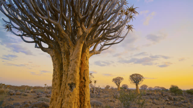 ms to ws quiver trees in idyllic landscape,namibia,africa - namibia stock videos & royalty-free footage