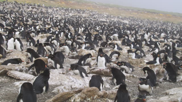 cu zo to ws rockhopper penguin nesting colony with large chicks and pair of king cormorants nesting in centre in mist - cormorant stock videos & royalty-free footage