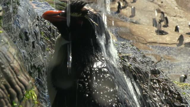 cu to ms rockhopper penguin showering under waterfall and preening - preening animal behavior stock videos & royalty-free footage