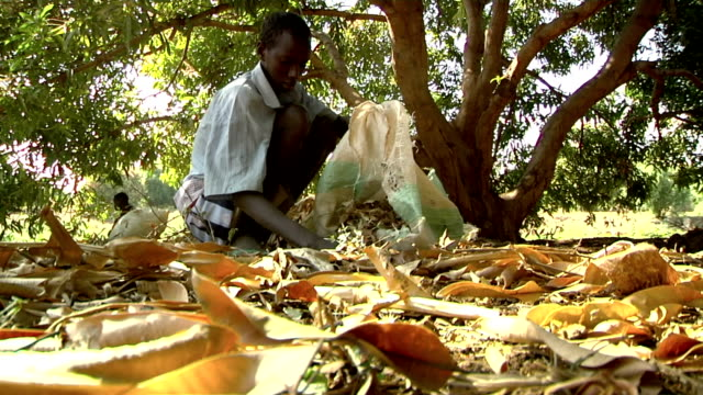 to serve as pasture young man picking up dry mango eaves on august 01 2011 in garisa kenya - eaves stock videos and b-roll footage