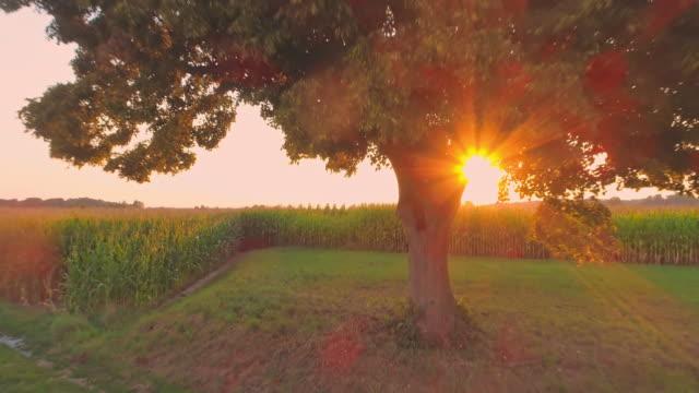 ms to ws single tree in idyllic,sunny corn field at sunset,slovenia - single tree stock videos & royalty-free footage