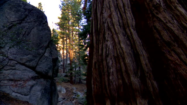 to space, crack, between partial large gray rock, boulder, frame & partial trunk of large redwood tree frame, other redwood trees in forest bg... - boulder rock stock-videos und b-roll-filmmaterial