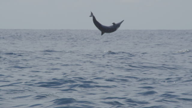 pan to spinner dolphin leaping and spinning energetically - spinner dolphin stock videos & royalty-free footage