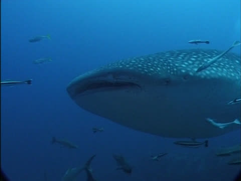 MCU to CU Whale shark's head as swims to camera then right to left past camera, with remoras. Thailand, Malaysia