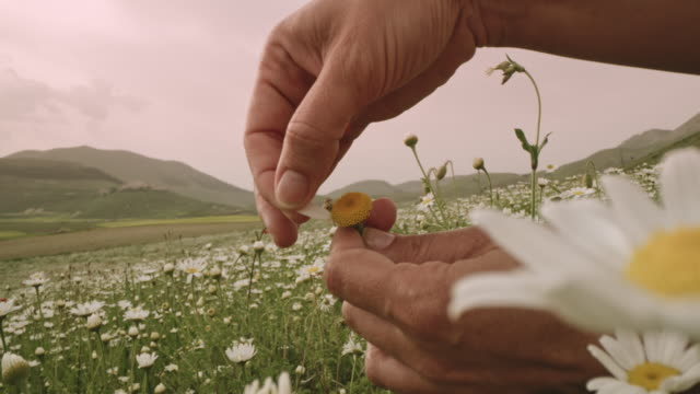 cu to ms woman picking petals off daisy in wildflower meadow, castelluccio, umbria, italy - zoom out stock videos & royalty-free footage
