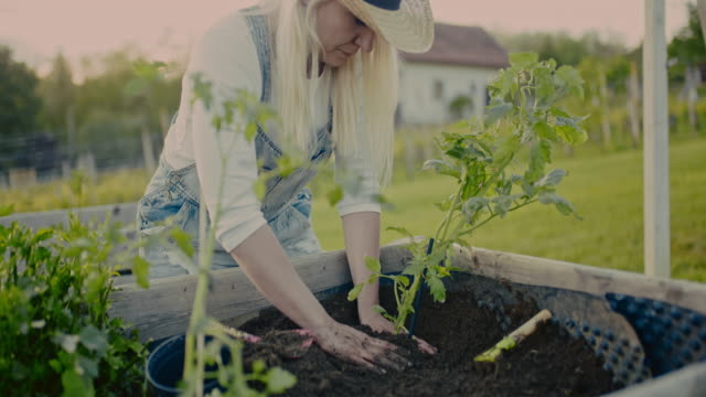 cu to ms woman planting potted tomato plant in garden soil of raised bed - potted plant stock videos & royalty-free footage