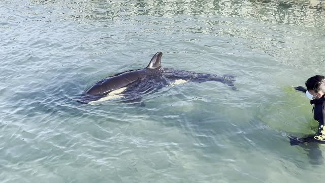toa the orca is monitored by a volunteer at plimmerton boating club on july 14, 2021 in wellington, new zealand. the stranded male orca calf was... - killer whale stock videos & royalty-free footage