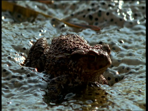 vídeos de stock e filmes b-roll de toad balances on slimy frog spawn glistening in sunlight, cut to toad maneuvering across mass of spawn covered lake, uk - sapo