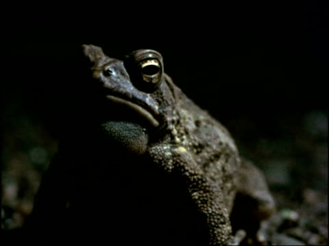 CU Toad calling at night, USA