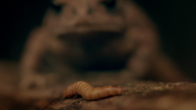 toad eats grub - insect stock videos & royalty-free footage