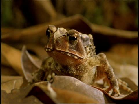 vídeos de stock e filmes b-roll de cu toad moving through dry leaves, western ghats, india - sapo