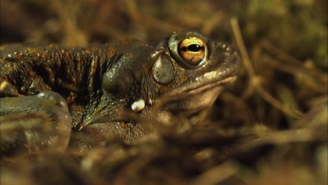 vídeos de stock e filmes b-roll de a toad sits in dry grasses then jumps. - sapo