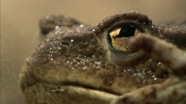 vídeos de stock e filmes b-roll de cu toads' eye in water / visby, nã¤r, ljugarn, gotland, sweden - sapo
