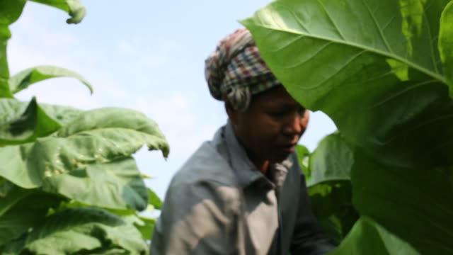 tobacco cultivation in bandarban hill district of bangladesh raises hackles as some companies are managing to manoeuvre a web of incentives in cash... - gourd stock videos & royalty-free footage