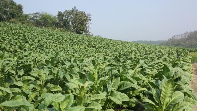 vídeos y material grabado en eventos de stock de tobacco cultivation in bandarban hill district of bangladesh raises hackles as some companies are managing to manoeuvre a web of incentives in cash... - calabaza no comestible