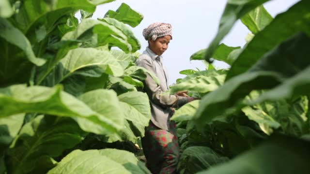 vídeos de stock e filmes b-roll de tobacco cultivation in bandarban hill district of bangladesh raises hackles as some companies are managing to manoeuvre a web of incentives in cash... - lagenaria