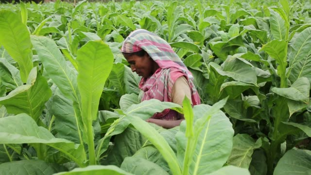 tobacco cultivation in bandarban hill district of bangladesh raises hackles as some companies are managing to manoeuvre a web of incentives in cash... - gourd stock videos and b-roll footage