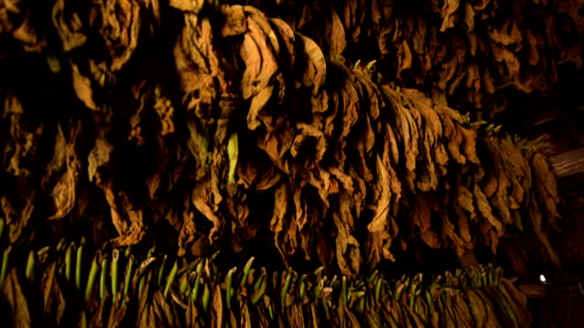 Tobacco drying from racks in Cuba