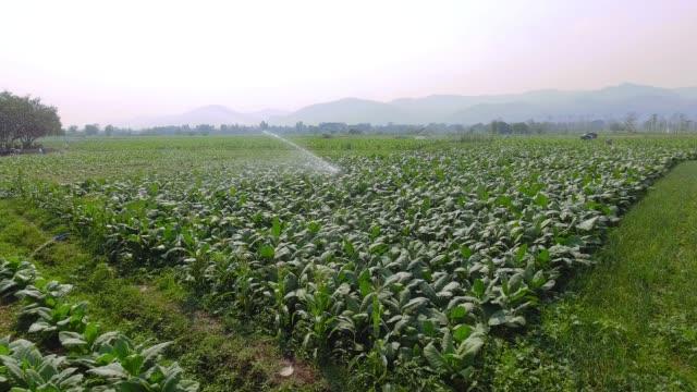 tabakbereich und landwirtschaft - tabakwaren stock-videos und b-roll-filmmaterial