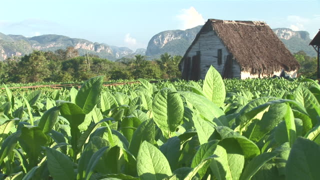 vídeos de stock e filmes b-roll de ws tobacco field and hut with mogotes at valle de vinales / pinar del rio, cuba - telhado de palha
