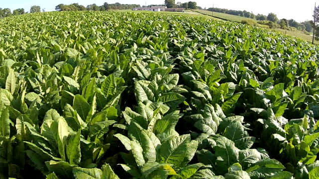tabak field - tabakwaren stock-videos und b-roll-filmmaterial