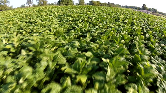tobacco field - tobacco product stock videos & royalty-free footage