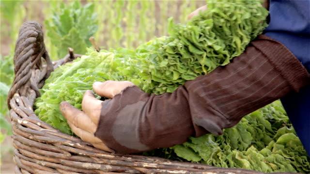 "tabak ""harvest - tabakwaren stock-videos und b-roll-filmmaterial"