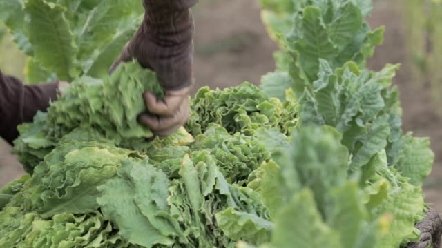 tobacco harvest - tobacco product stock videos and b-roll footage
